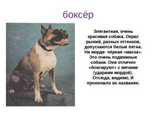 Элегантная, очень красивая собака. Окрас рыжий, разных оттенков, допускаются