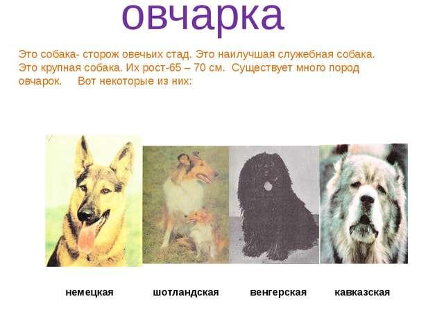 немецкая шотландская венгерская кавказская овчарка Это собака- сторож овечьи...