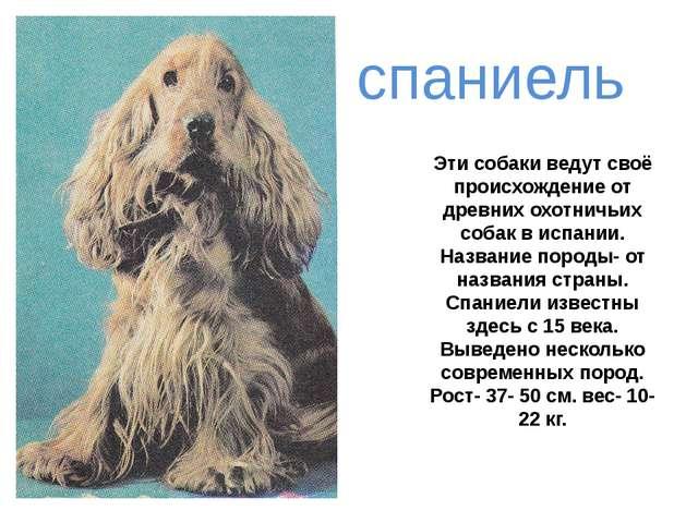 Эти собаки ведут своё происхождение от древних охотничьих собак в испании. На...