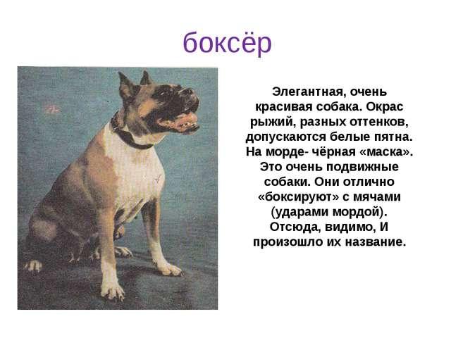 Элегантная, очень красивая собака. Окрас рыжий, разных оттенков, допускаются...