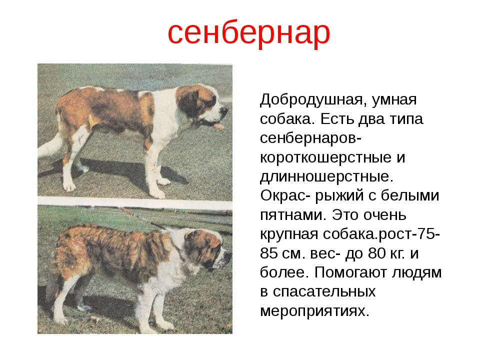сенбернар Добродушная, умная собака. Есть два типа сенбернаров- короткошерстн...
