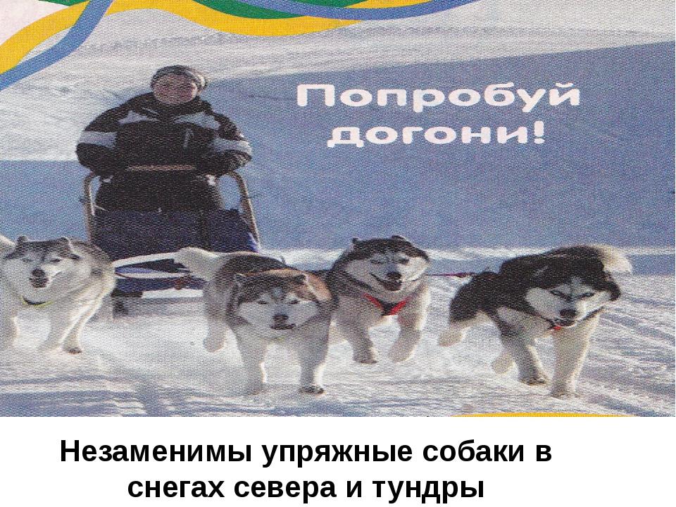 Незаменимы упряжные собаки в снегах севера и тундры