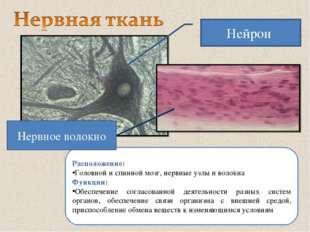 Расположение: Головной и спинной мозг, нервные узлы и волокна Функции: Обеспе