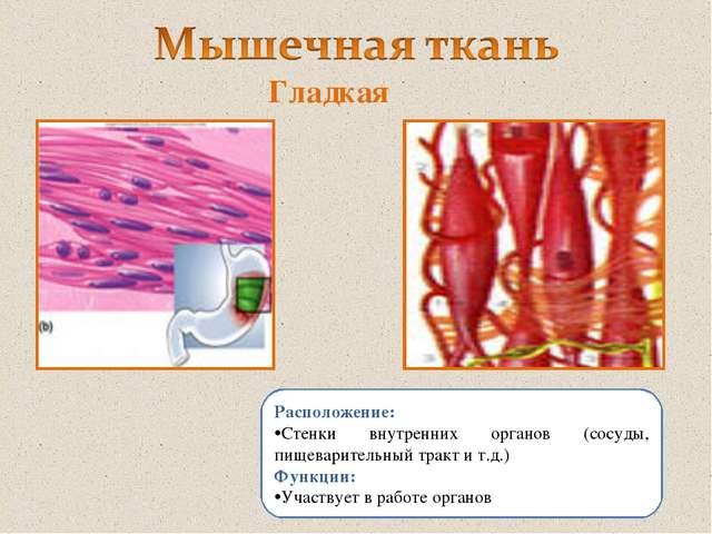 Расположение: Стенки внутренних органов (сосуды, пищеварительный тракт и т.д....