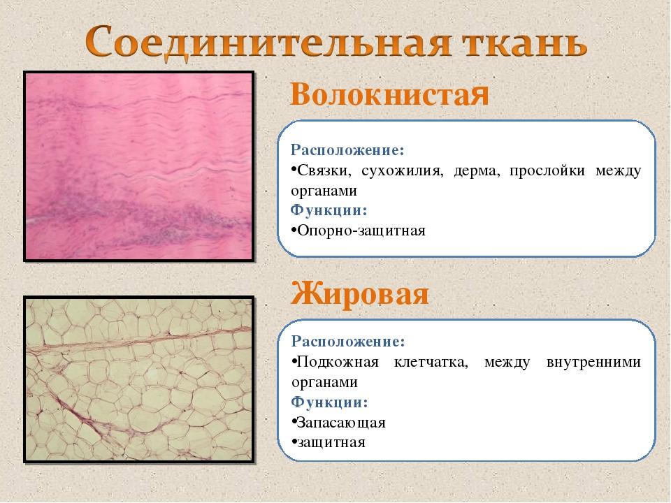 Волокнистая Жировая Расположение: Связки, сухожилия, дерма, прослойки между о...