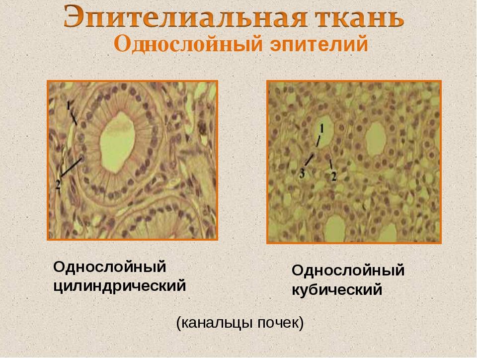 Однослойный эпителий Однослойный цилиндрический Однослойный кубический (канал...