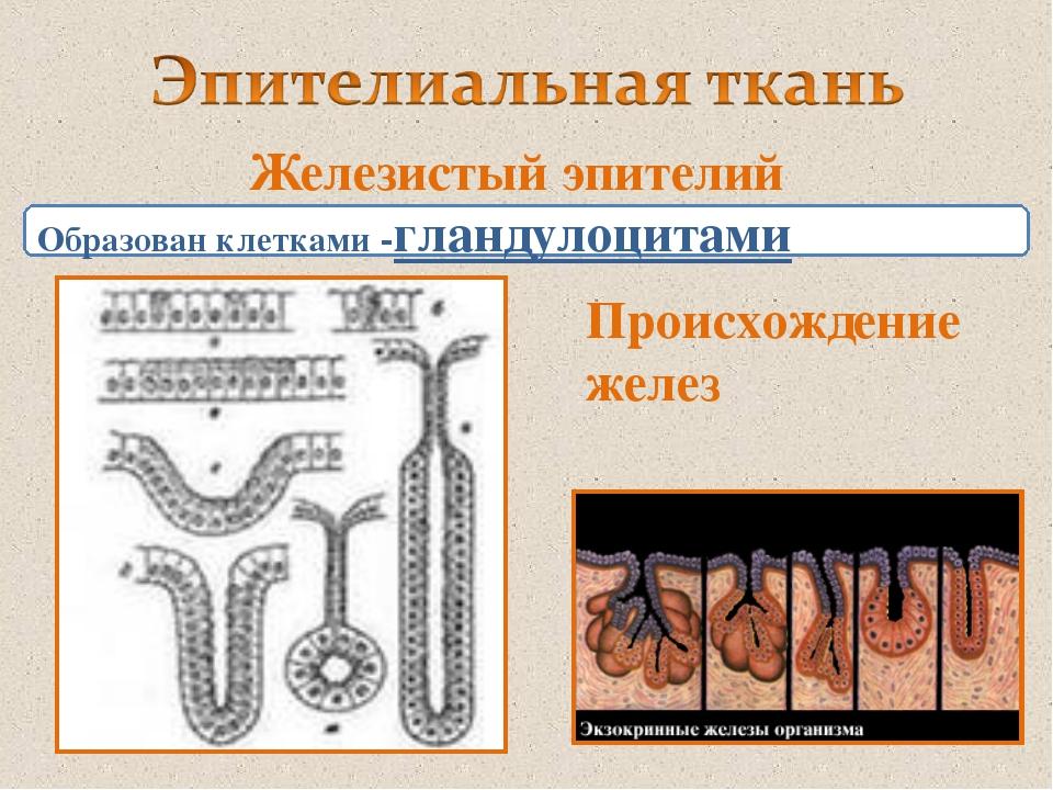 Железистый эпителий Образован клетками -гландулоцитами Происхождение желез