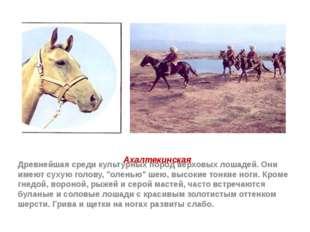 Ахалтекинская Древнейшая среди культурных пород верховых лошадей. Они имеют с