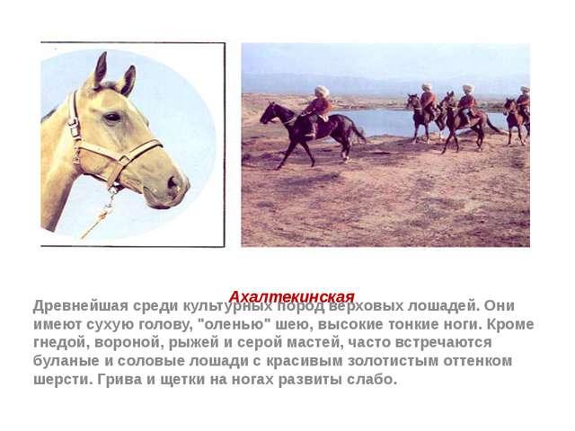 Ахалтекинская Древнейшая среди культурных пород верховых лошадей. Они имеют с...