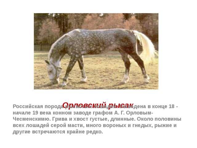 Орловский рысак Российская порода рысистых лошадей. Выведена в конце 18 - нач...