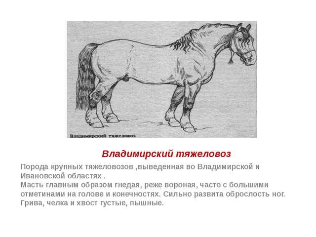 Владимирский тяжеловоз Порода крупных тяжеловозов ,выведенная во Владимирской...