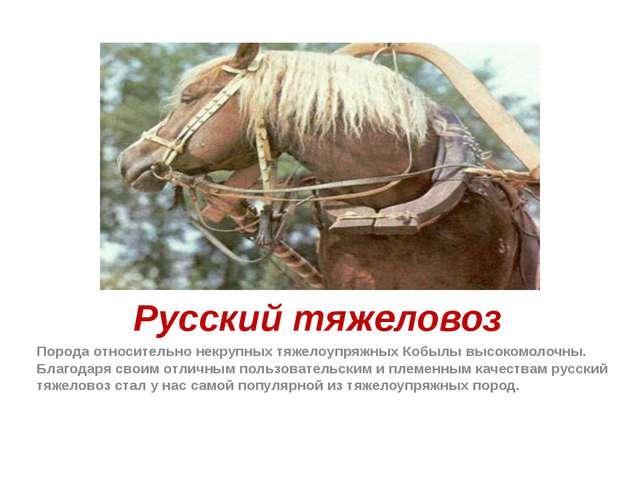 Русский тяжеловоз Порода относительно некрупных тяжелоупряжных Кобылы высоком...
