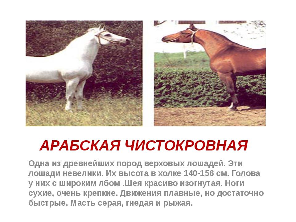 АРАБСКАЯ ЧИСТОКРОВНАЯ Одна из древнейших пород верховых лошадей. Эти лошади н...