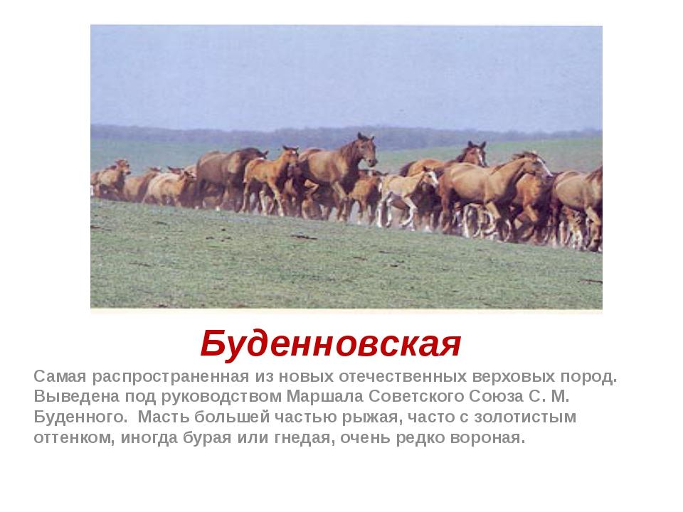 Буденновская Самая распространенная из новых отечественных верховых пород. Вы...