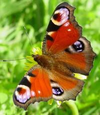 http://www.lepidopterolog.ru/images/stories/4.jpg