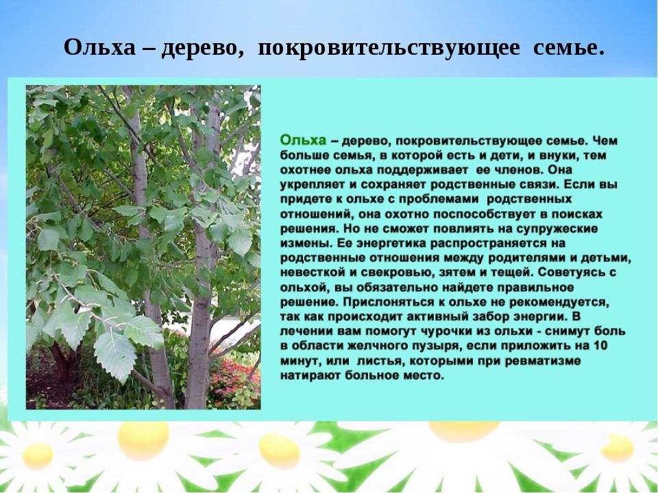 Ольха это дерево или кустарник