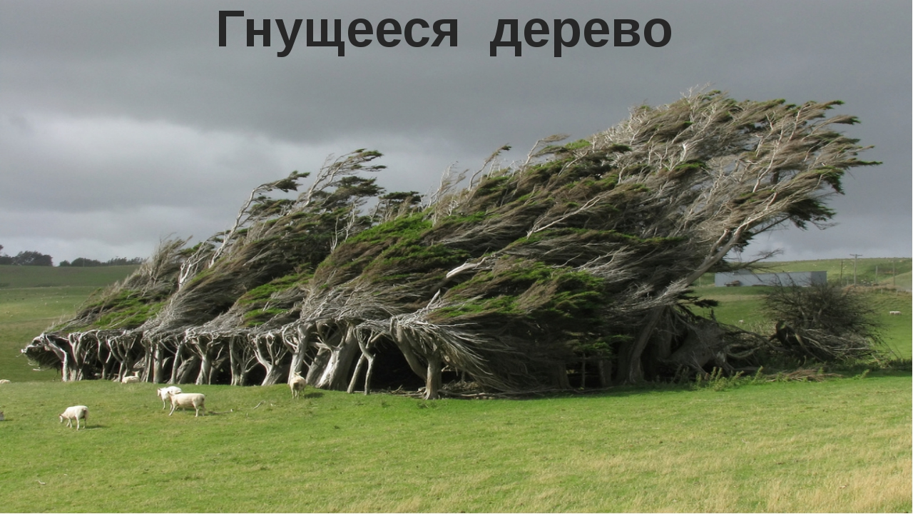 Гнущееся дерево