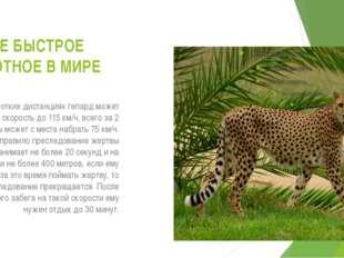 САМОЕ БЫСТРОЕ ЖИВОТНОЕ В МИРЕ На коротких дистанциях гепард может развивать с