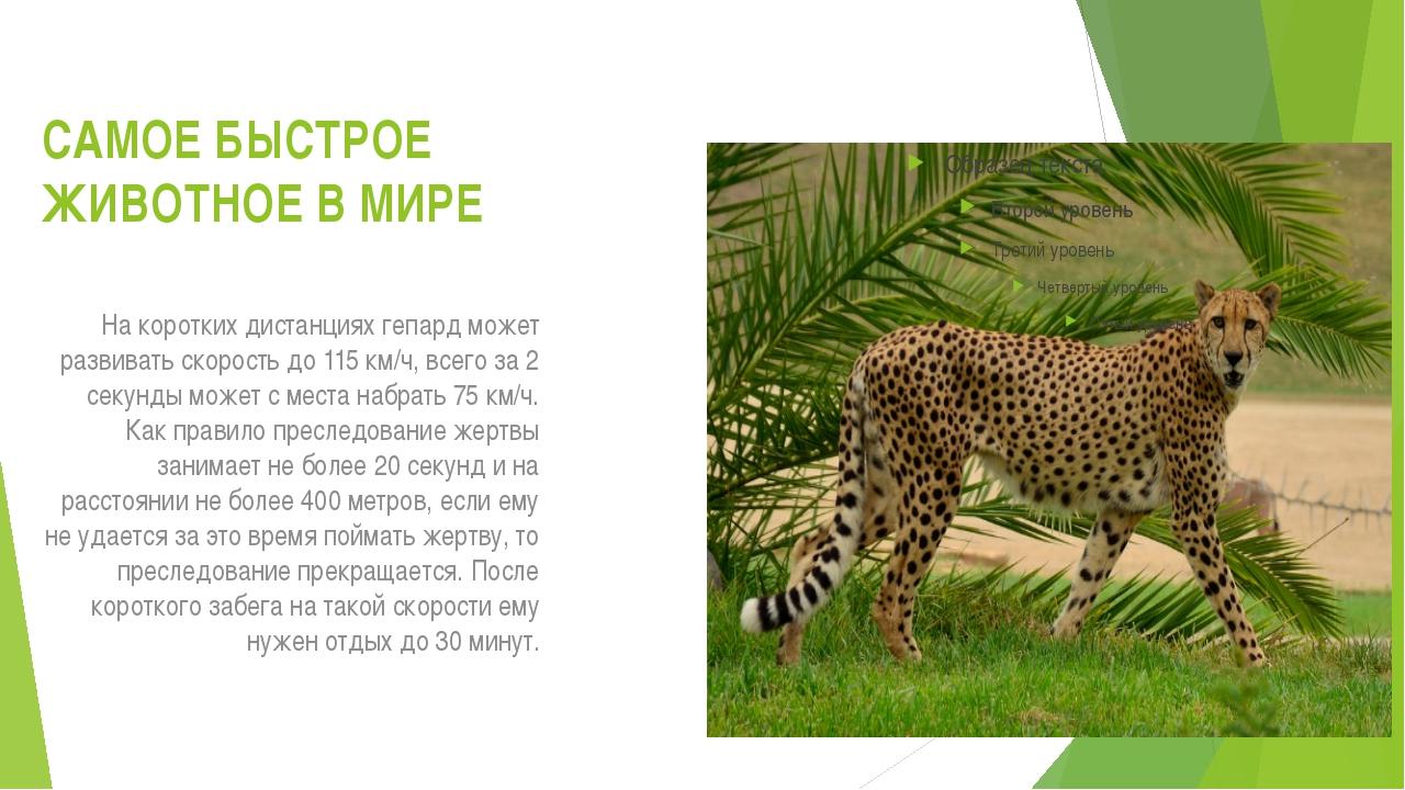 САМОЕ БЫСТРОЕ ЖИВОТНОЕ В МИРЕ На коротких дистанциях гепард может развивать с...