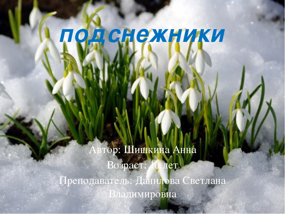 подснежники Автор: Шишкина Анна Возраст: 10 лет Преподаватель: Данилова Светл...