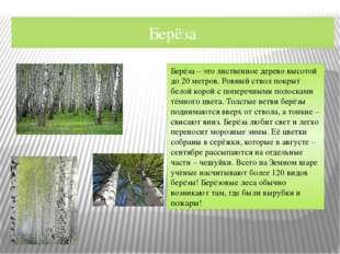 Берёза Берёза – это лиственное дерево высотой до 20 метров. Ровный ствол покр