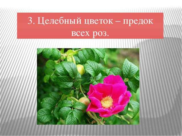 3. Целебный цветок – предок всех роз.