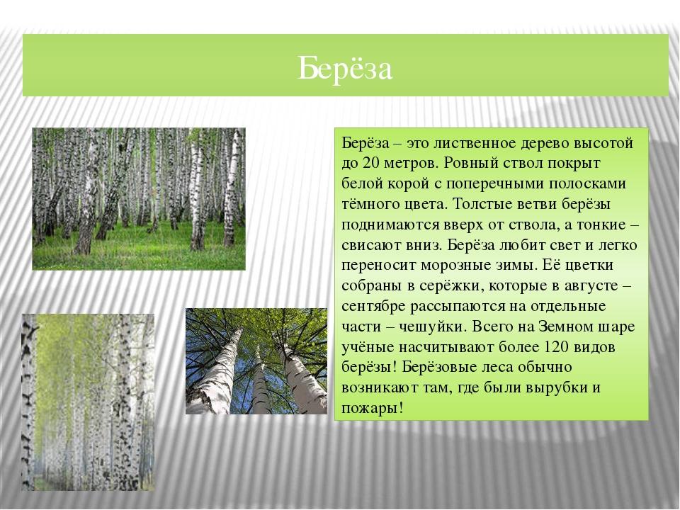 Берёза Берёза – это лиственное дерево высотой до 20 метров. Ровный ствол покр...