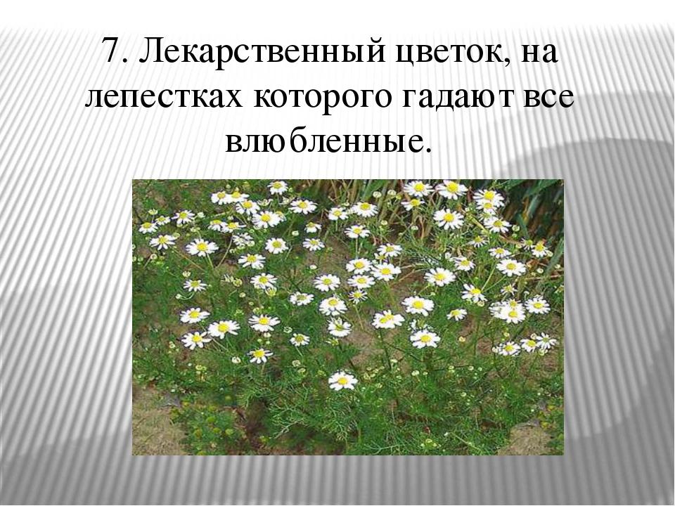 7. Лекарственный цветок, на лепестках которого гадают все влюбленные.