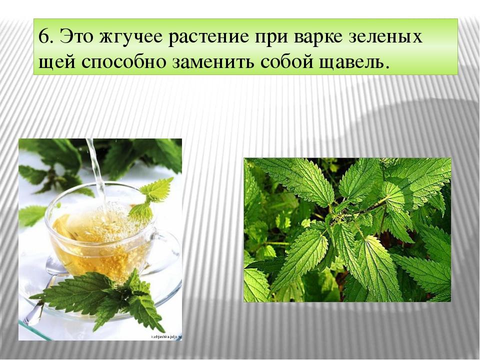 6. Это жгучее растение при варке зеленых щей способно заменить собой щавель.