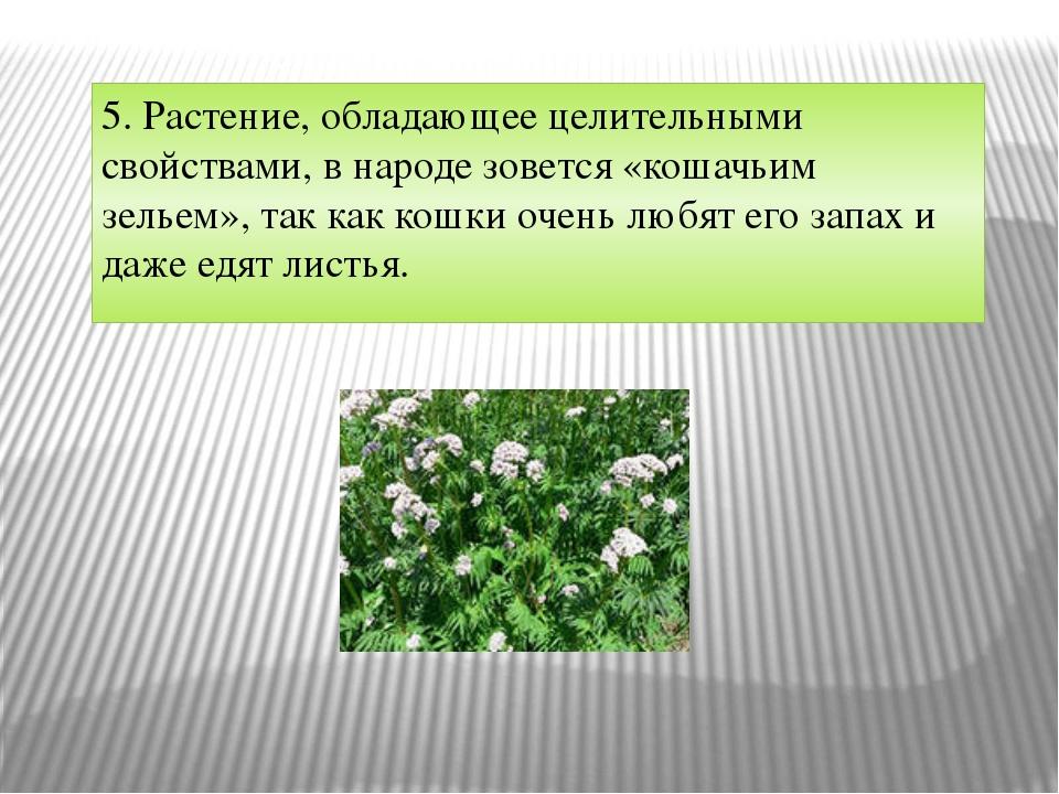 5. Растение, обладающее целительными свойствами, в народе зовется «кошачьим з...