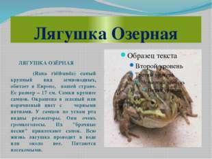 Лягушка Озерная ЛЯГУШКА ОЗЁРНАЯ (Rana ridibunda) самый крупный вид земноводны