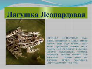Лягушка Леопардовая ЛЯГУШКА ЛЕОПАРДОВАЯ (Rana pipiens) окрашенная в разные от