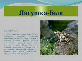 Лягушка-Бык ЛЯГУШКА-БЫК (Rana catesbiana) имеет длину 20 см. Отличается больш