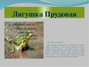 Лягушка Прудовая ЛЯГУШКА ПРУДОВАЯ (Rana esculenta) Ярко-зеленая со светлой по