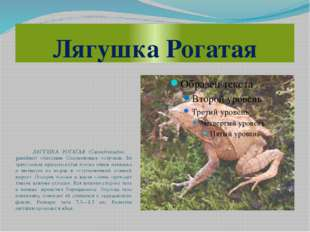 Лягушка Рогатая ЛЯГУШКА РОГАТАЯ (Ceratobatrachus guentheri) обитатель Соломон