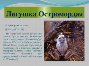 Лягушка Остромордая Остромордая лягушка (RANA ARVALIS) На спине есть светлая