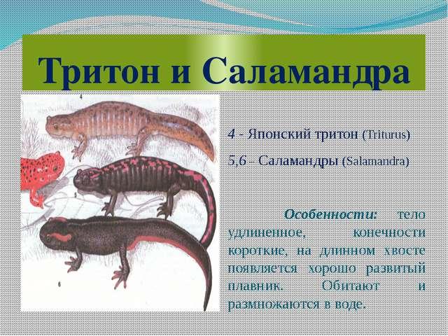 Тритон и Саламандра 4 - Японский тритон (Triturus) 5,6 – Саламандры (Salamand...