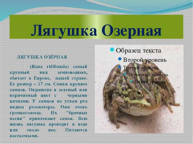 Лягушка Озерная ЛЯГУШКА ОЗЁРНАЯ (Rana ridibunda) самый крупный вид земноводны...