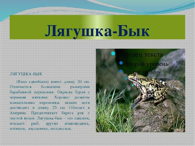 Лягушка-Бык ЛЯГУШКА-БЫК (Rana catesbiana) имеет длину 20 см. Отличается больш...