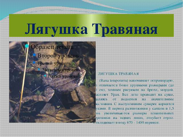Лягушка Травяная ЛЯГУШКА ТРАВЯНАЯ (Rana temporaria) напоминает остромордую, н...