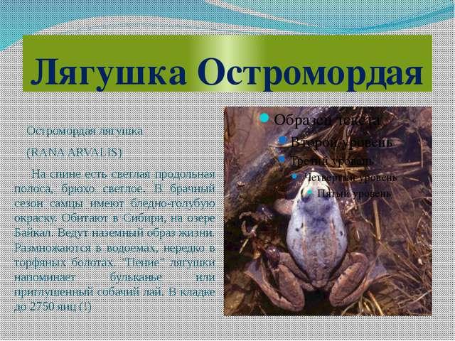 Лягушка Остромордая Остромордая лягушка (RANA ARVALIS) На спине есть светлая...