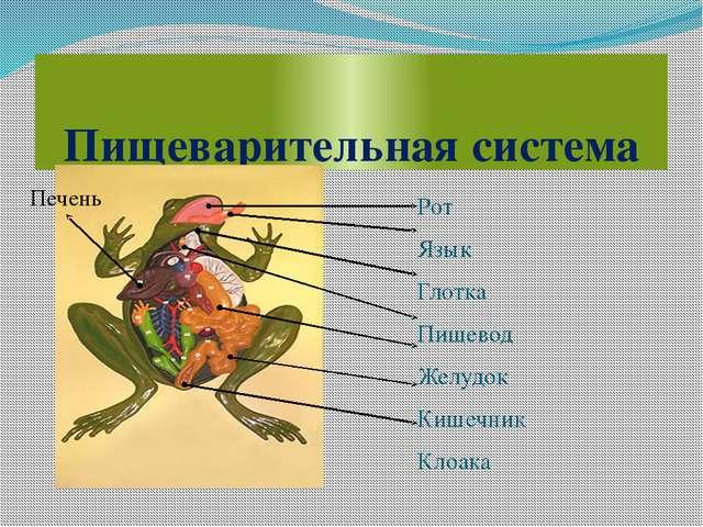 Пищеварительная система Рот Язык Глотка Пищевод Желудок Кишечник Клоака Печень