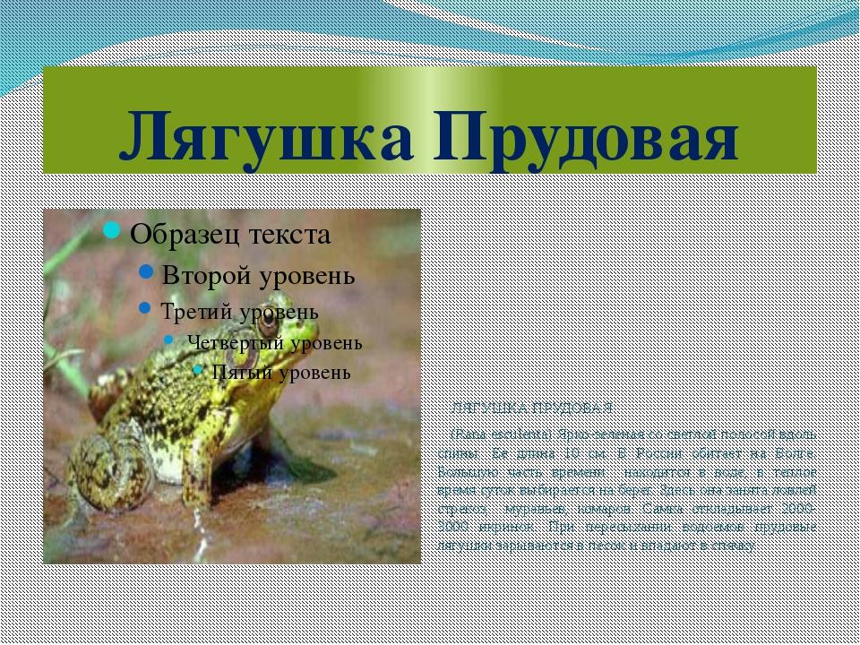 Лягушка Прудовая ЛЯГУШКА ПРУДОВАЯ (Rana esculenta) Ярко-зеленая со светлой по...