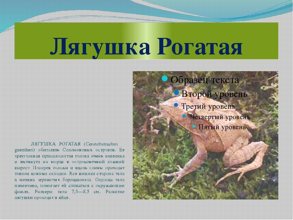 Лягушка Рогатая ЛЯГУШКА РОГАТАЯ (Ceratobatrachus guentheri) обитатель Соломон...