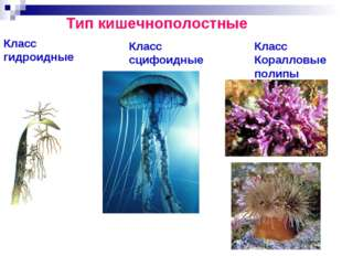 Тип кишечнополостные Класс гидроидные Класс сцифоидные Класс Коралловые полипы