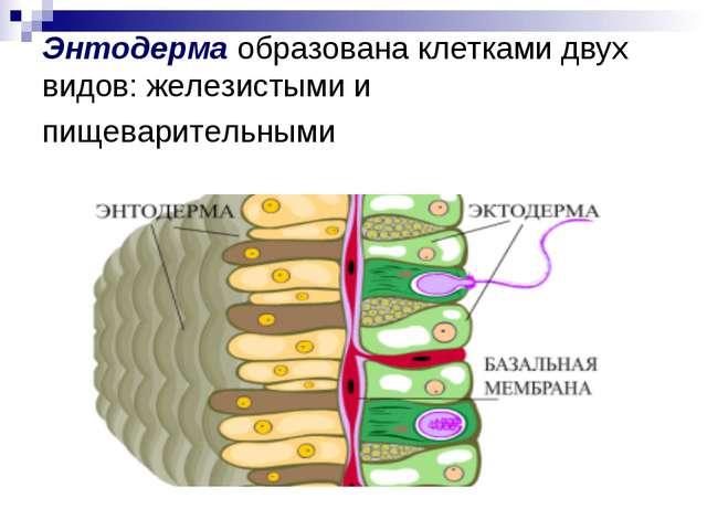 Энтодерма образована клетками двух видов: железистыми и пищеварительными