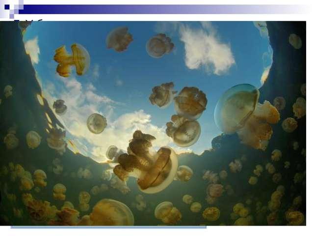 У большинства медуз при размножении наблюдается смена двух поколений — беспол...