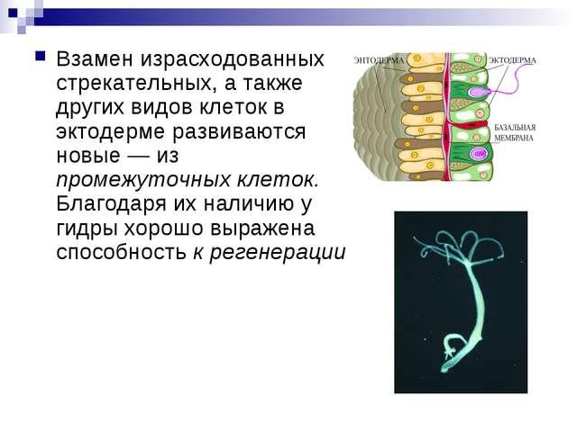 Взамен израсходованных стрекательных, а также других видов клеток в эктодерме...