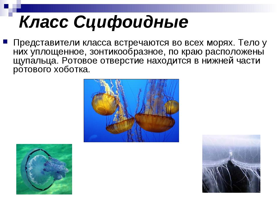Класс Сцифоидные Представители класса встречаются во всех морях. Тело у них у...