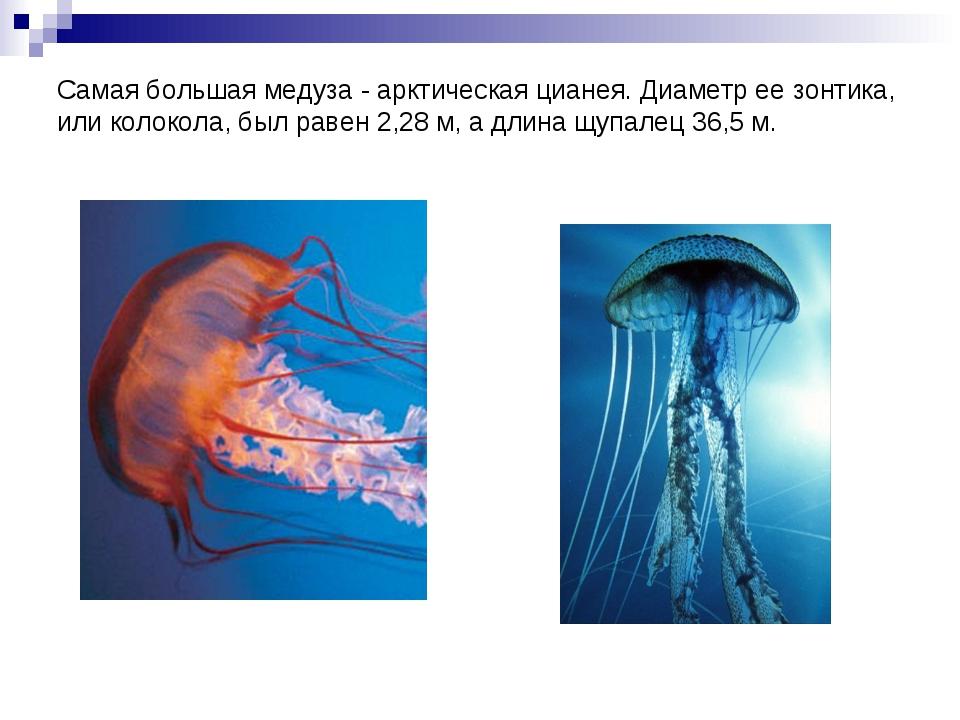 Самая большая медуза - арктическая цианея. Диаметр ее зонтика, или колокола,...